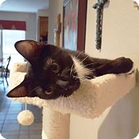 Adopt A Pet :: Ringo - Arlington/Ft Worth, TX
