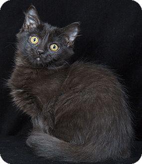 Maine Coon Kitten for adoption in Nashville, Tennessee - Bobbi