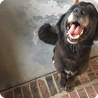 Flat-Coated Retriever Mix Dog for adoption in Rockville, Maryland - Cookie (Adoption Pending)
