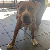 American Staffordshire Terrier Mix Dog for adoption in San Antonio, Texas - FINN