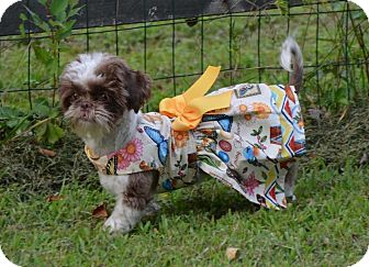 Shih Tzu Puppy for adoption in Jacksonville, Florida - Lady Liberty (Libby)