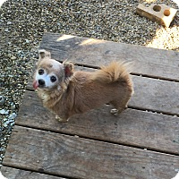 Pomeranian/Chihuahua Mix Dog for adoption in Wyanet, Illinois - Cocoa