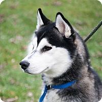 Adopt A Pet :: Stallone - Harvard, IL