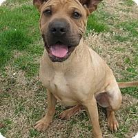 Adopt A Pet :: Scooby Doo - Huntsville, AL