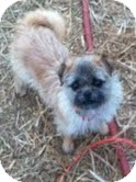 Brussels Griffon/Pug Mix Dog for adoption in Boulder, Colorado - Levi