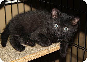 Domestic Shorthair Kitten for adoption in Berkeley Hts, New Jersey - Colin