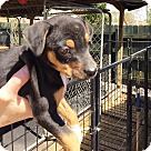 Adopt A Pet :: Teds Chi Litter
