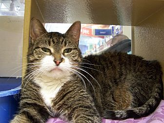 Domestic Shorthair Cat for adoption in Jersey City, New Jersey - Jessica