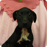 Adopt A Pet :: Caroline - Charlemont, MA