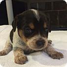 Adopt A Pet :: Elsa's Pup Elroy