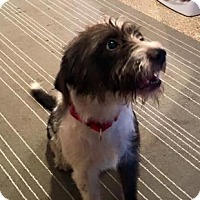 Adopt A Pet :: OSCAR MADDISON - Boca Raton, FL