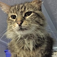 Domestic Longhair Cat for adoption in Fredericksburg, Virginia - Tito