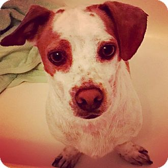 Jack Russell Terrier/Dachshund Mix Dog for adoption in Los Angeles, California - SKIPPY (video)