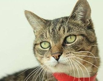 Domestic Shorthair Cat for adoption in San Francisco, California - Mister