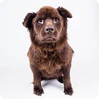 Adopt A Pet :: Bobby - Decatur, GA