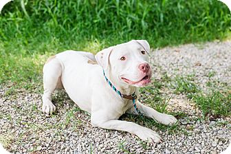 American Pit Bull Terrier Mix Dog for adoption in Des Peres, Missouri - Simon