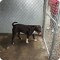 Adopt A Pet :: Vidia - Henderson, NC