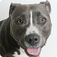 Pit Bull Terrier Mix Dog for adoption in Redding, California - Sia