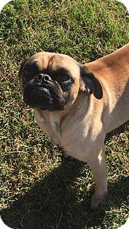 Pug Mix Dog for adoption in Essington, Pennsylvania - Major