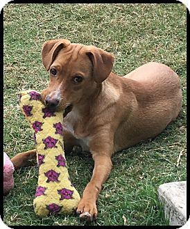 Terrier (Unknown Type, Medium)/Labrador Retriever Mix Dog for adoption in Buda, Texas - Joey