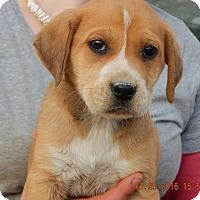 Adopt A Pet :: Ember (5 lb) Cutie Pie! - Williamsport, MD