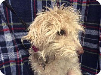 Poodle (Miniature) Dog for adoption in Pomona, California - I1266489