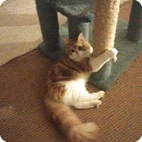 Adopt A Pet :: Tank - Whitestone, NY