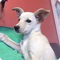 Adopt A Pet :: Millie - Alta Loma, CA