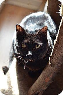 Domestic Shorthair Cat for adoption in Atlanta, Georgia - L.B. 12039