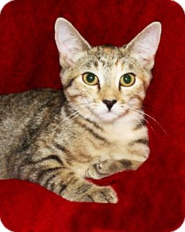 Domestic Shorthair Cat for adoption in Rochester, New York - Lindsay