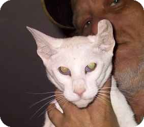 Oriental Cat for adoption in Columbus, Ohio - Vanity