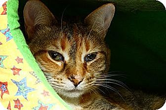 Domestic Shorthair Cat for adoption in Lombard, Illinois - Autumn