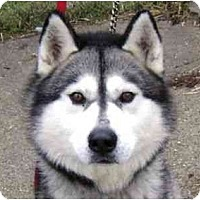 Adopt A Pet :: Elvis - Belleville, MI