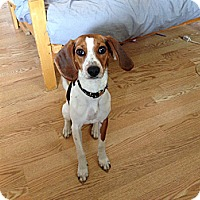 Adopt A Pet :: Olivia - Acushnet, MA