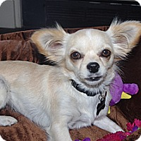 Adopt A Pet :: Sassy Long Haired Chihuahua - Marlton, NJ
