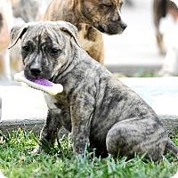 Adopt A Pet :: Gisele - Mission Viejo, CA