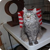 Domestic Mediumhair Cat for adoption in Alpharetta, Georgia - Sonnet