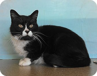 Domestic Shorthair Cat for adoption in Larned, Kansas - Boots