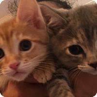 Adopt A Pet :: Bonded Kittens Cheetah Oona - Burbank, CA