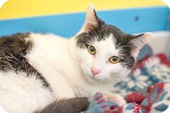 Domestic Shorthair Cat for adoption in West Des Moines, Iowa - Bogart