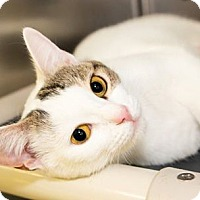 Domestic Shorthair Cat for adoption in Seville, Ohio - Patty