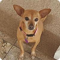 Chihuahua/Feist Mix Dog for adoption in Newport Beach, California - Cayenne