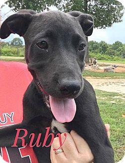 Labrador Retriever Puppy for adoption in Jay, New York - Ruby
