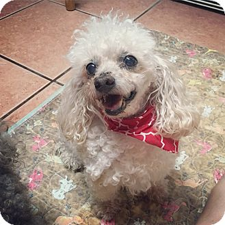 Poodle (Miniature) Dog for adoption in Davie, Florida - Rusty