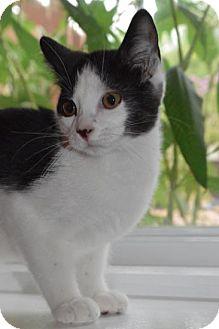 Domestic Shorthair Kitten for adoption in Williamston, Michigan - Aa Litter - Arya