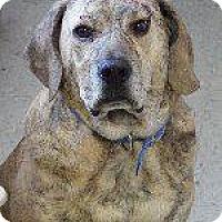 Plott Hound Mix Dog for adoption in Queenstown, Maryland - Bobo (Beauregard)