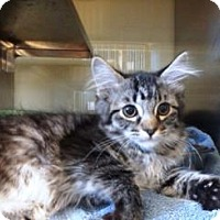 Domestic Shorthair Kitten for adoption in Apple Valley, California - Tiger Lilly #160399