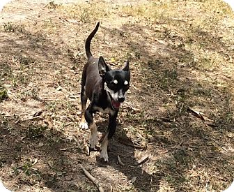 Chihuahua Mix Dog for adoption in Brownsville, Texas - Nova
