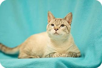 Siamese Cat for adoption in Chattanooga, Tennessee - Sid the Lynx