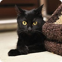 Domestic Shorthair Cat for adoption in Lowell, Massachusetts - Broadway